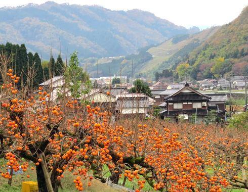 花御所柿が一面に広がる鳥取県の風景