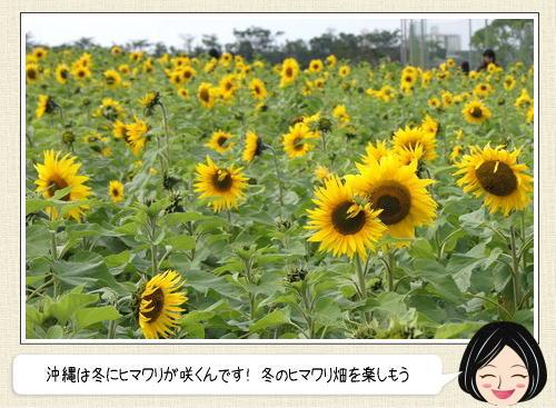 沖縄に咲く冬のヒマワリ、北中城に日本で一番早く咲くヒマワリ畑