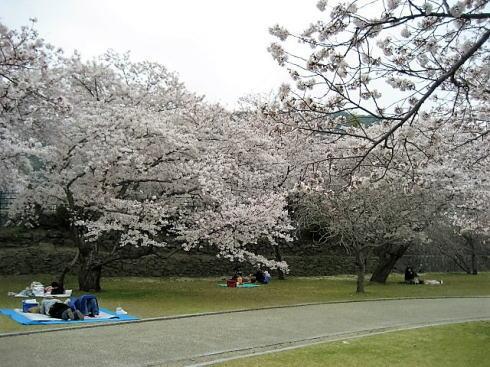 錦帯橋の桜 昼の部3