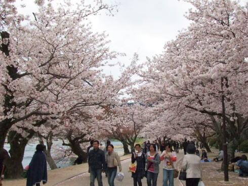 錦帯橋の桜 昼の部