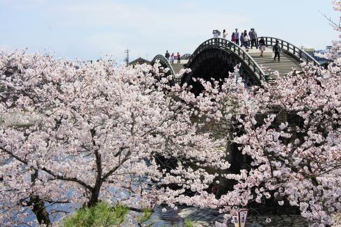 錦帯橋の桜 昼の部8