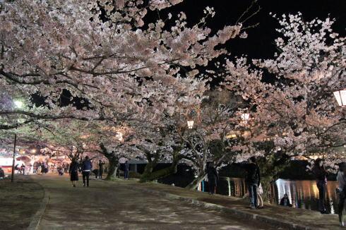 錦帯橋の桜 夜の部7