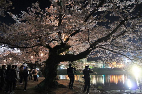 錦帯橋の桜 夜の部6