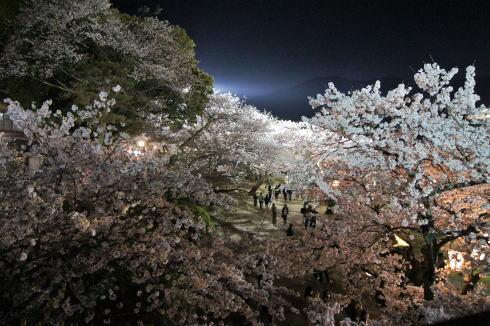錦帯橋の桜 夜の部5