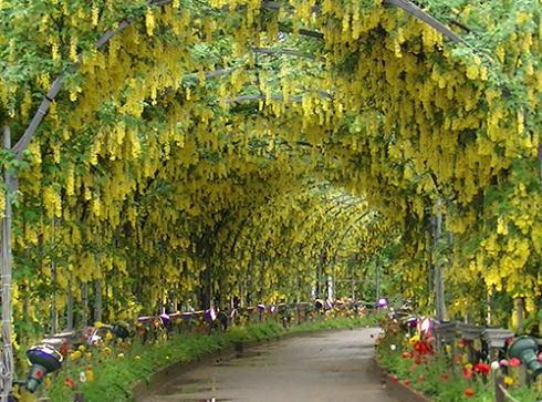 あしかがフラワーパーク 黄色の藤の画像
