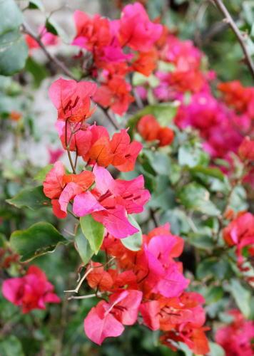 沖縄 カフェくるくま 花たち