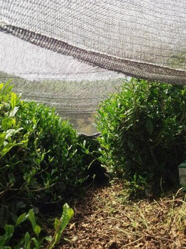 八女茶の茶畑 画像3