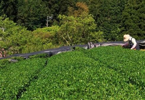 八女茶 新茶の収穫(茶摘み)の様子8