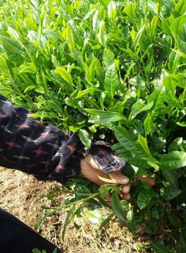 八女茶 新茶の収穫(茶摘み)の様子4