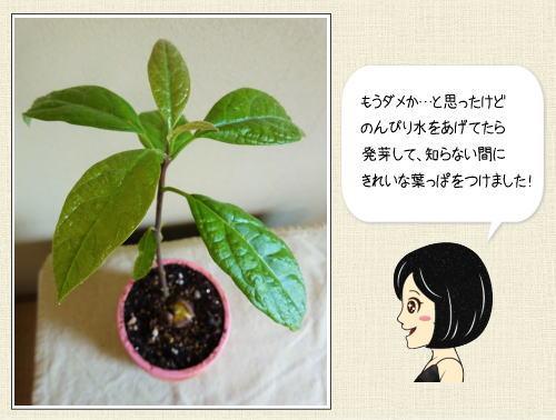 食べ終わったアボカドの種を育てて、可愛い観葉植物に