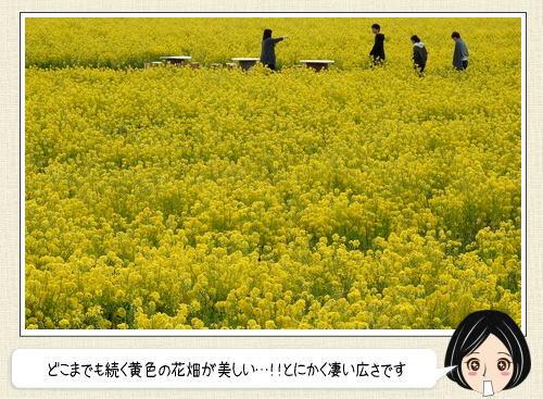 一面が黄色の世界!!笠岡ベイファーム 菜の花が満開で見ごろへ