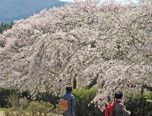徳佐八幡宮、山口県のお花見スポット