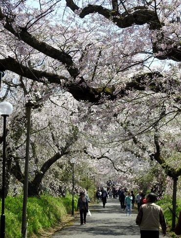 徳佐八幡宮 降り注ぐ桜のトンネル