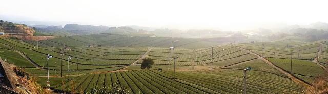 福岡県 八女中央大茶園(パイロット茶園)の風景3