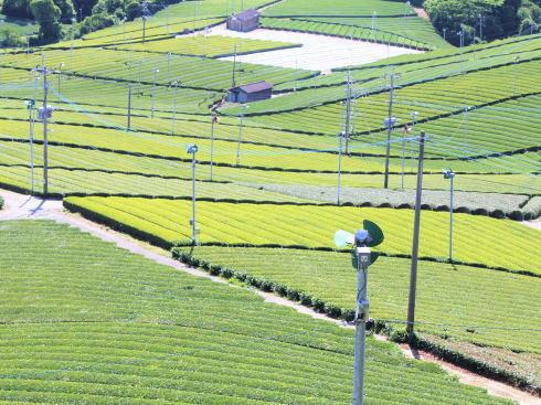 福岡県 八女中央大茶園(パイロット茶園)の風景