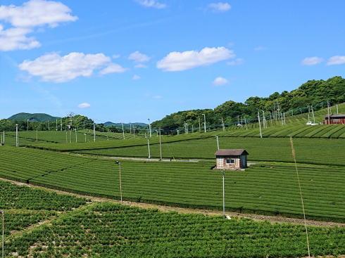 圧巻の眺め!八女中央大茶園、どこまでも茶畑が続く福岡の風景