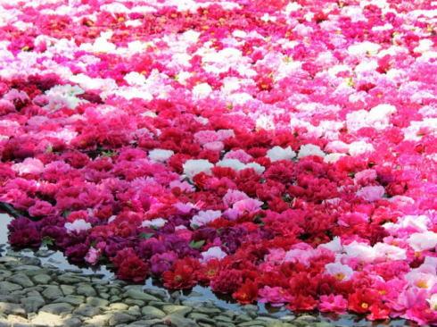 島根 由志園 池泉の牡丹(三万輪の牡丹)2