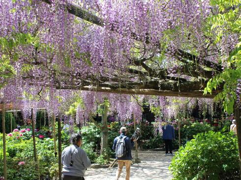 島根 由志園 園内には藤の花も