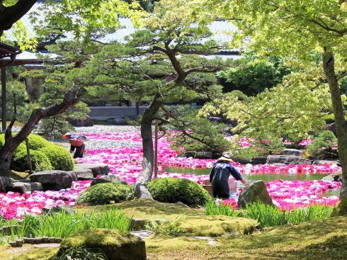島根 由志園 池泉の牡丹(三万輪の牡丹)4