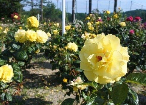 蜂ヶ峯総合公園に180種類のバラ3