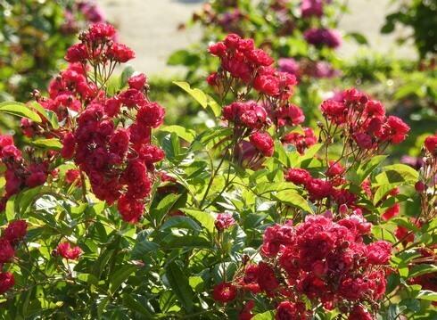 蜂ヶ峯総合公園に180種類のバラ5