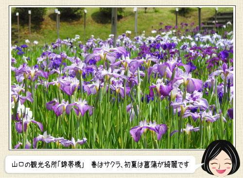 錦帯橋・吉香公園の菖蒲園がみごろ!