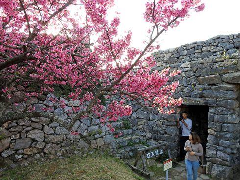 今帰仁城跡の桜2
