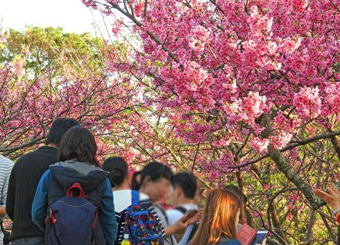 今帰仁城跡の桜3