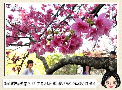 日本で一番早い桜、世界遺産の今帰仁城跡で鮮やかに