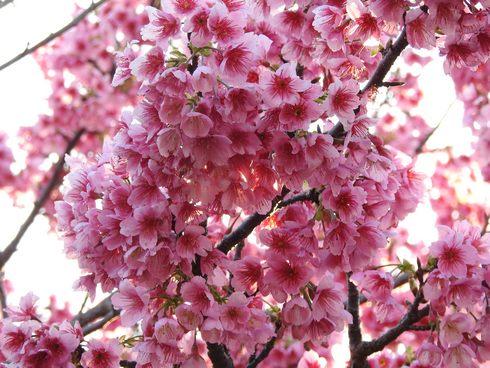今帰仁城跡の桜は、寒緋桜(カンヒザクラ)