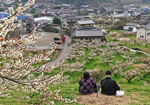福岡県八女市  梅の名所 谷川梅林の写真6