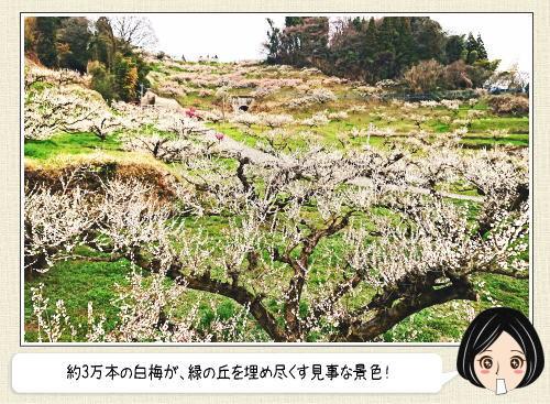 3万本の白梅が見事!谷川梅林(福岡)町を見下ろす丘に