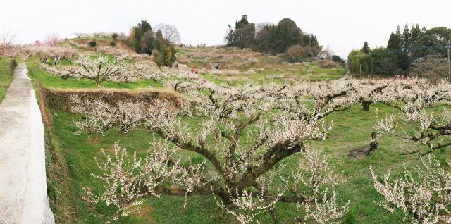 福岡県八女市  梅の名所 谷川梅林の写真4