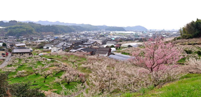 福岡県八女市  梅の名所 谷川梅林の写真7