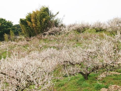 福岡県八女市  梅の名所 谷川梅林の写真5