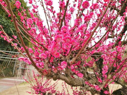 福岡県八女市  梅の名所 谷川梅林の写真2