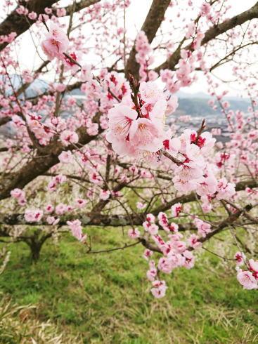 福岡県八女市  梅の名所 谷川梅林の写真3