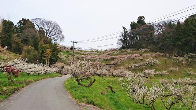 福岡県八女市  梅の名所 谷川梅林の写真