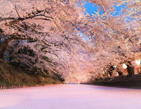 桜の花筏も圧巻!青森・弘前さくらまつり、開催中