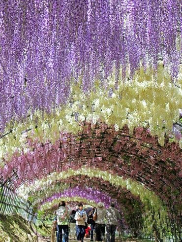 河内藤園 藤のトンネル 写真