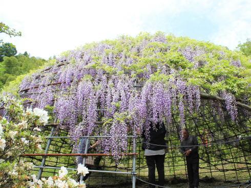 河内藤園 フジのドーム2