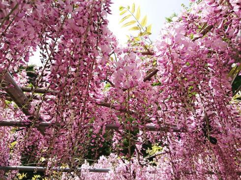 河内藤園 赤紫色のフジ