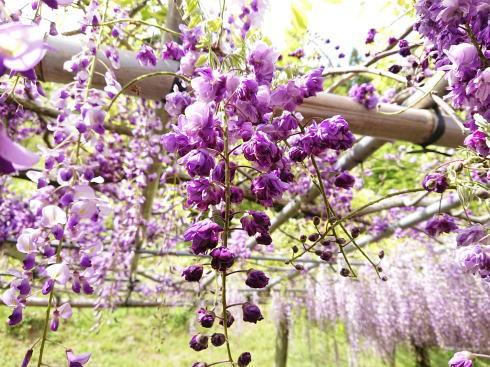 河内藤園 八重咲のフジ