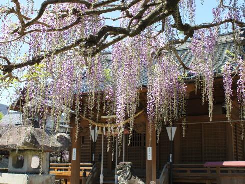 福岡県八女市 黒木大藤の写真7
