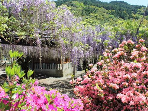 福岡県八女市 黒木大藤の写真8