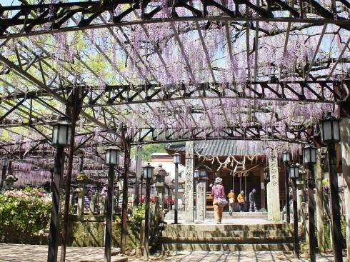 福岡県八女市 黒木大藤の写真2