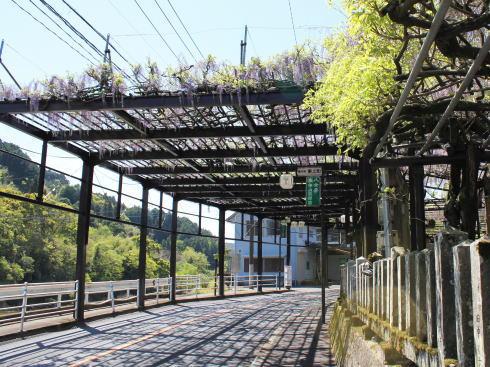 福岡県八女市 黒木大藤の写真6