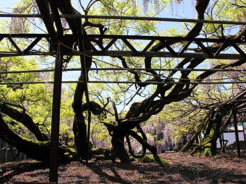 福岡県八女市 黒木大藤の写真5