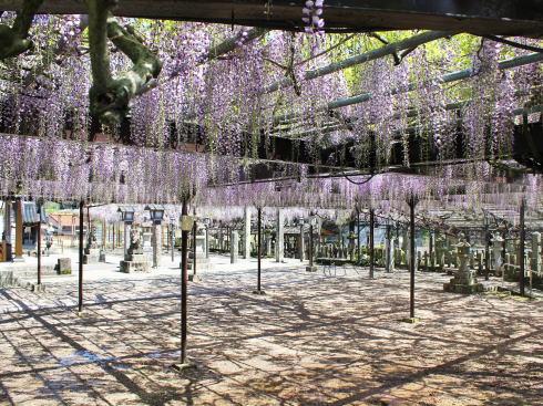 福岡県八女市 黒木大藤の写真3
