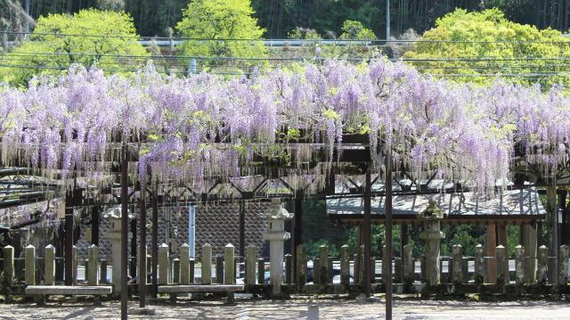 福岡県八女市 黒木大藤の写真4